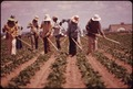 MIGRANTS WEED SUGAR BEETS FOR $2.00 AN HOUR - NARA - 543858.tif