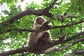 Macaca fuscata females and baby, Iwatayama, 20080607.jpg