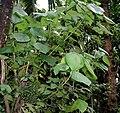Macaranga peltata W IMG 2385.jpg