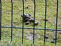 Macropus rufogriseus droppings 01.JPG