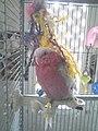 Madame Pompadour (Pink Cockatoo) - panoramio.jpg