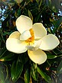 Magnolia Flower 1.jpg
