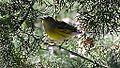 Magnolia Warbler (7967692810).jpg