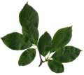 Magnolia soulangiana scanned leaves.png