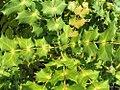 Mahonia japonica Bealei 1zz.jpg