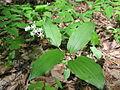 Maianthemum japonicum 4.JPG