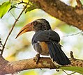 Malabar Grey Hornbill from Vazhachal.jpg