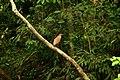 Malayan night heron or tiger bittern fro gorumara np P1030219.jpg