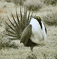 Male Greater Sage-Grouse (6928668188).jpg