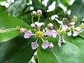 Maloighia glabra 'Acerola' (Malphigiaceae) flower.jpg