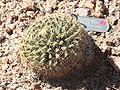 Mammillaria heyderi var heyderi - Desert Botanical Garden.jpg