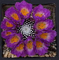 Mammillaria luethyi (8879441963).jpg