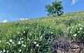 Mandevilla brachysiphon habitat.jpg