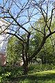 Mandzuuria pähklipuu mai 2014 116.jpg