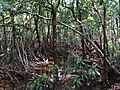 Mangroves at Myall Beach.jpg
