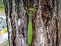 Mantis religiosa - Transylvania - 5.jpg