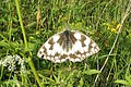 Marbled white (NH) (7856325046).jpg