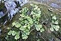 Marchantia polymorpha L. in Pavlino údolí.jpg