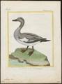 Mareca americana - 1700-1880 - Print - Iconographia Zoologica - Special Collections University of Amsterdam - UBA01 IZ17600333.tif