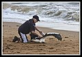 Margate Pelican Rescue- Hammy-09 (6954049163).jpg