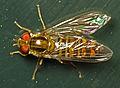 Marmalade Fly (Episyrphus balteatus) (14117155485).jpg