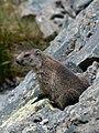 Marmota marmota Glockner 2009 04.jpg