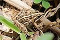 Mascarene ridged frog (Ptychadena mascareniensis) Ranomafana.jpg