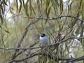 File:Masked Woodswallow carpet95.ogv