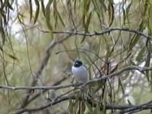 Payl:Masked Woodswallow carpet95.ogv