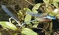 Mating pair Blue-eyes. Erythromma lindenii. Goblet-marked Damsefly (32241506674).jpg
