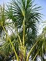 Mauritia flexuosa (Scott Zona) 001.jpg