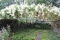 Medicinal Plant Gardens Weleda Schwaebisch Gmuend Knotweed.jpg