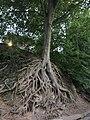 Medusa Tree, Greenville SC June 2019 1.jpg