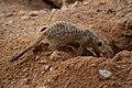 Meerkat - suricate.jpg