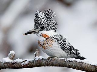 Crested kingfisher species of bird