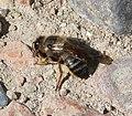 Megachile Chalicodoma species (32582632351).jpg