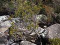 Melaleuca paludicola habit.jpg