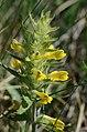 Melampyrum barbatum (7272237642).jpg