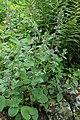 Melittis melissophyllum kz03.jpg