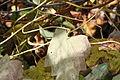 Menispermum canadense 8296.jpg