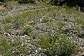 Mentzelia laevicaulis 15.jpg