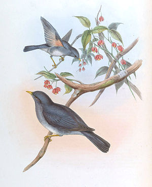 Tickell's thrush - Image: Merula Unicolor Gould