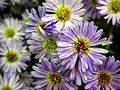 Michaelmas daisy or Aster amellus from Lalbagh Flowershow - August 2012 4723.JPG