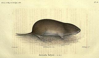 Savis pine vole species of mammal