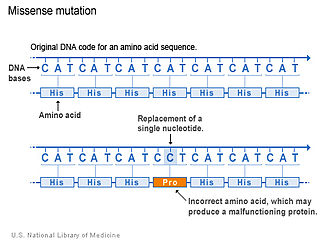 Missense mutation - This image shows an example of missense mutation. One of the nucleotides (adenine) is replaced by another nucleotide (cytosine) in the DNA sequence. This results in an incorrect amino acid (proline) being incorporated into the protein sequence.