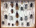 Missiemuseum Steyl, verzameling insecten & geleedpotigen 05.jpg