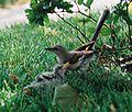 Mockingbird Feeding Chick021.jpg