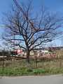 Modřany, památný dub a výstavba (01).jpg