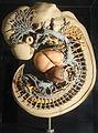 Modellgruppe menschlicher Embryos in der Mitte des 2. Entwicklungsmonats (Embryo Blechschmidt; Länge des Embryo 7,5 mm) (2).jpg