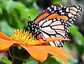 Monarch Butterfly (230294032).jpg